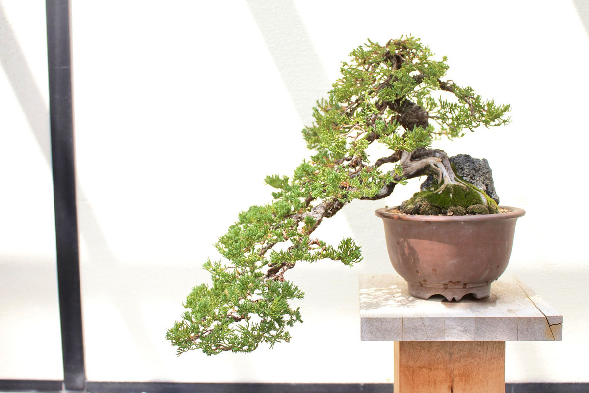 Cascase style bonsai in a brown pot.