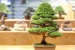 Formal upright bonsai style tree in a brown pot.