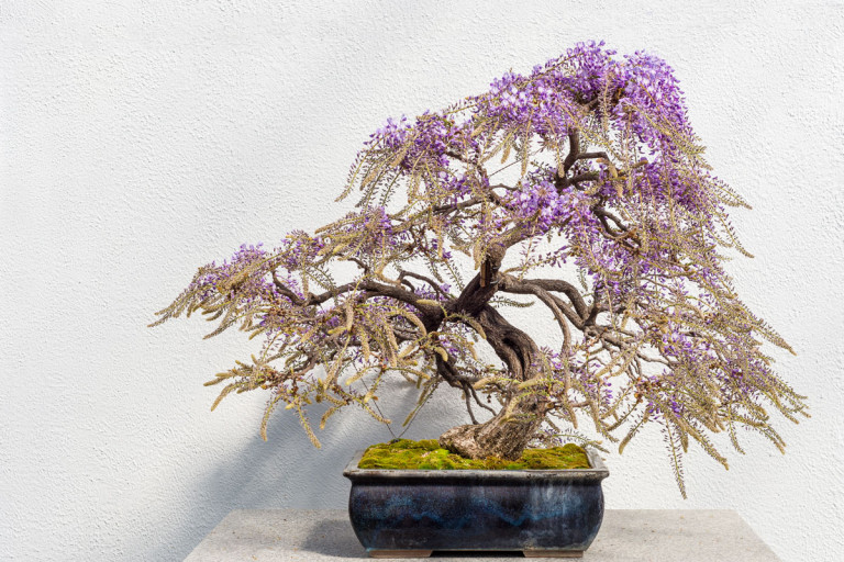 Japanese wisteria bonsai tree with bright purple blooms.