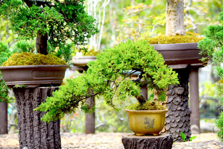 Semi cascade style bonsai in a brown pot.