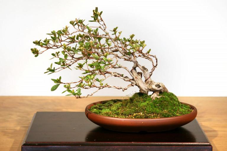 Windswept bonsai tree azalea in a brown pot.
