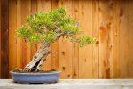 Bonsai, slanting style.