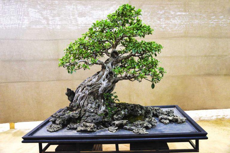 Ficus bonsai tree growing on an black surface.