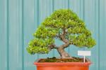 Informal upright bonsai tree style.