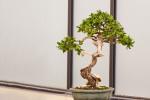 Literati style bonsai tree.